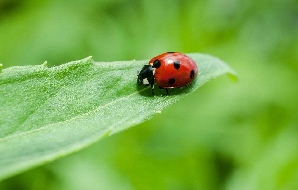 pesticidi naturali - coccinella